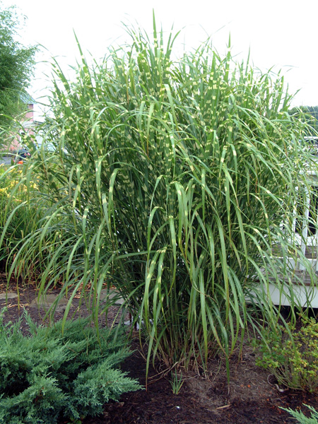 Yard supply garners ferry landscape supply for 6 foot tall ornamental grass